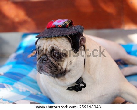 lovely white fat cute pug dog face close up lying on a big soft blue pillow outdoor wearing deep blue dog hat cap making sad face under natural sunlight with home surrounding bokeh background. - stock photo