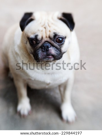 lovely white fat cute pug sadly face head shot close up sitting on the gray color concrete floor outdoor with lonely emotion under natural sunlight  - stock photo