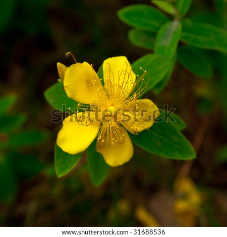 Lovely yellow wild flower with long pistils - stock photo