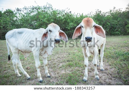 Lovely young calf on a green hill  - stock photo
