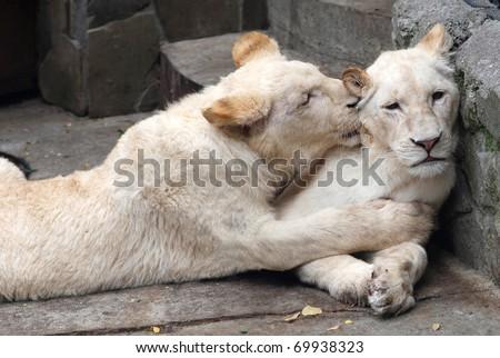 Loving couple of white lions - stock photo