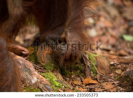 Loving hands of mother and baby Orangutan in south Borneo Indonesia. - stock photo