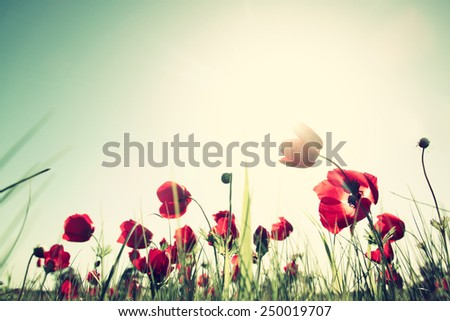 low angle photo of red poppies against sky with light burst . image is retro filter toned - stock photo