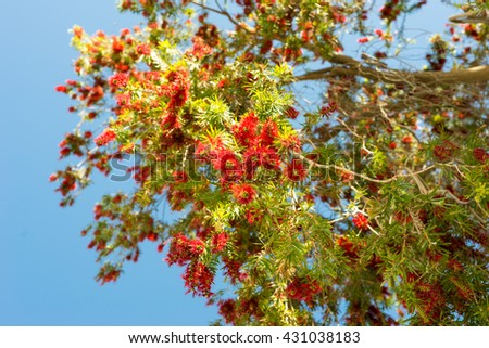 Low-angle shot from beautiful red flowering at the tree in Springtime on Crete. The beautiful tree is situated in the small tourist destination Pitsidia. A village in the south of Crete - stock photo