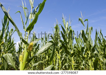 Low angle view of maize in a field under blue sky. - stock photo