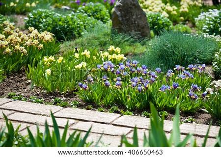 low-growing iris in the garden, perennial garden - stock photo
