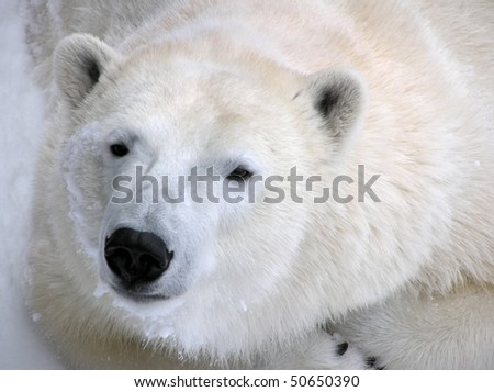 Low-key portrait of a peaceful polar bear curled up in the snow ready to take a nap, with details fur and claws showing. - stock photo