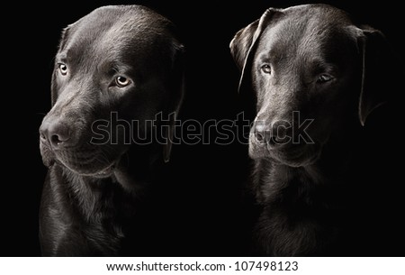 Low Key Shot of Two handsome chocolate labradors - stock photo