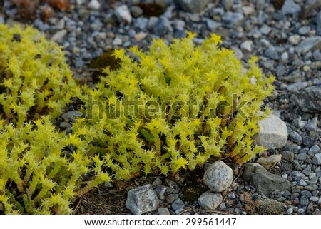 Low lying sedum acre plants with budding yellow flowers growing on the rocky Maine Coast - stock photo