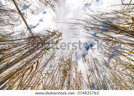 Low perspective view towards the sky of dry bamboo plants. - stock photo