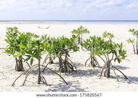 Low tide leaves young mangrove trees on sandy shore of Chacmuchuc lagoon on Isla Blanca, Quintana Roo, Mexico - stock photo