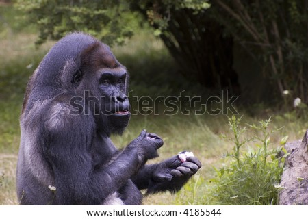Lowland male gorilla - stock photo