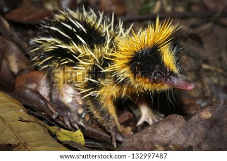 Lowland Streaked Tenrec (Hemicentetes semispinosus) in a defensive posture in the rainforest of Ranomafana, Madagascar.  It is endemic to Madagascar. - stock photo