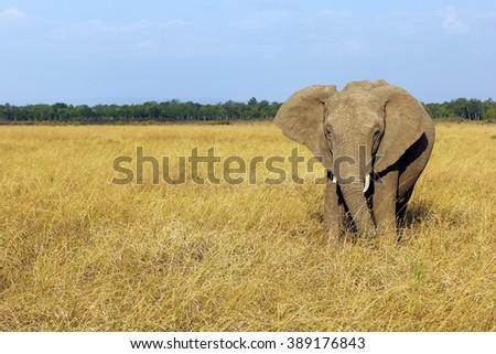 Loxodonta africana - African bush elephant in the savannah of the Masai Mara National Park, Kenya. - stock photo