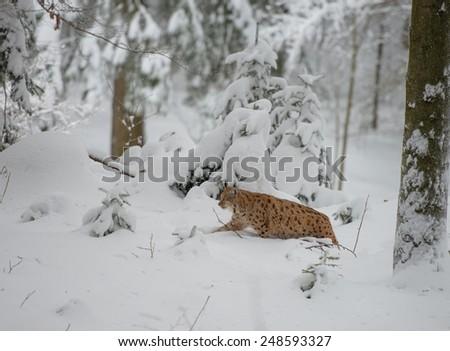 Luchs (lynx lynx) walking in the snow - stock photo