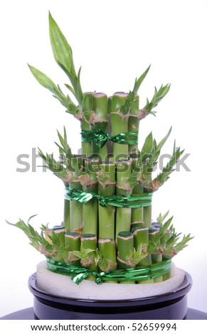 Lucky bamboo - stock photo