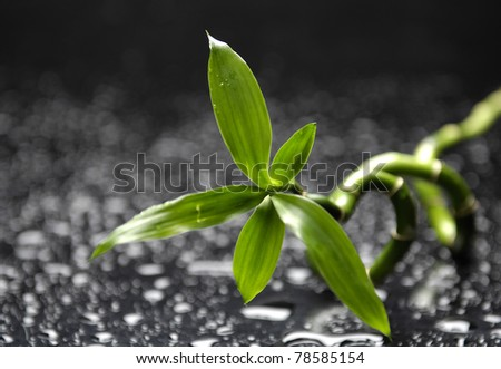 Lucky bamboo in water drop - stock photo