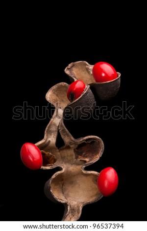 Lucky Bean Seeds (Erythrina Coral flower seeds) - stock photo