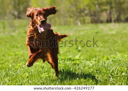 lucky dog Irish setter playing in the summer on the grass, running fast - stock photo
