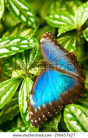 lue butteryfly on green leafs with white dots, very vivid colours - stock photo