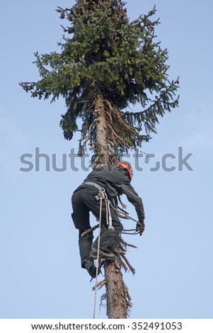 lumberjack climbing high up in the fir tree for felling the tree - stock photo