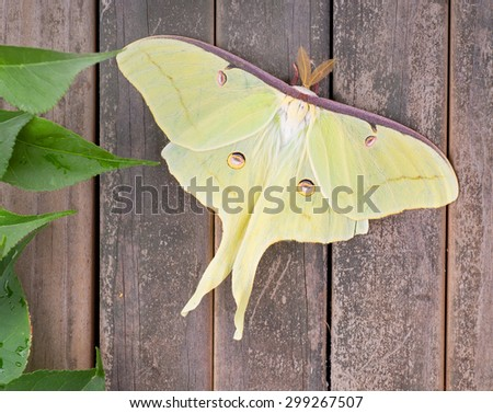 Luna moth, Actias luna, on a wood background - stock photo