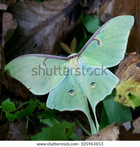 Luna moth resting on forest floor - stock photo