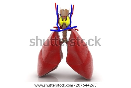 lungs and thyroid gland - stock photo