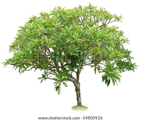 Luntom,Plumeria tree with flowers - stock photo