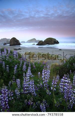 Lupine and sea stacks along the Oregon coast - stock photo