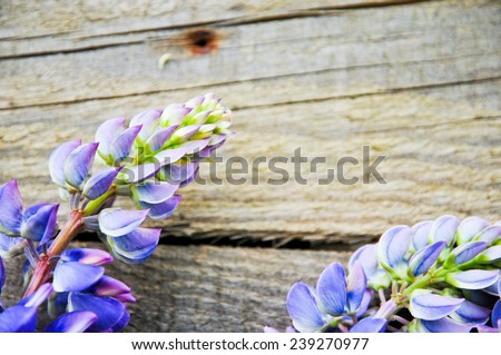 Lupine flowers  - stock photo