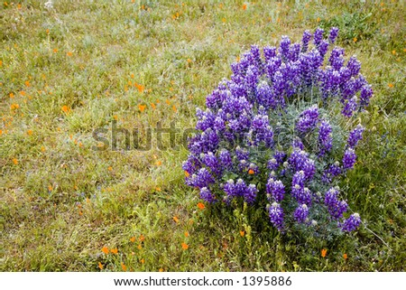 Lupine flowers on the meadow. - stock photo