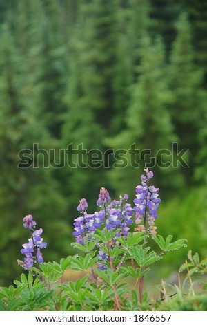 lupine in an alpine meadow in Washington State - stock photo