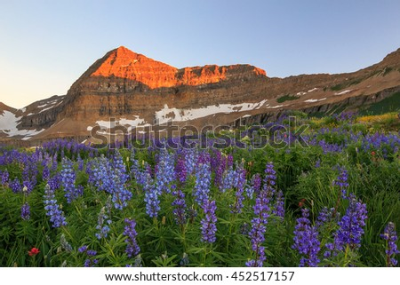 Lupine wildflower sunset in the Wasatch Mountains, Utah, USA. - stock photo