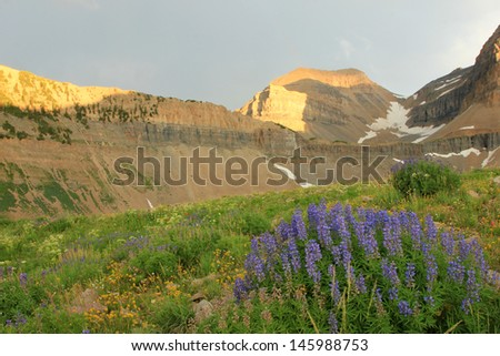 Lupine wildflowers in the Wasatch Mountains, Utah, USA. - stock photo