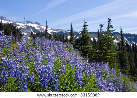 Lupines blooming in North Cascades - stock photo
