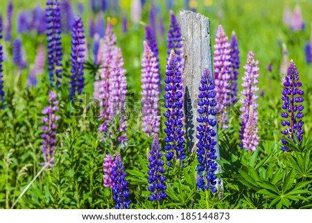 Lupins growing wild  and flowering along the roadsides and streams or rural Prince Edward Island, Canada. - stock photo