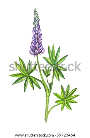 Lupins or lupines. Illustration of watercolor. - stock photo