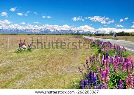 Lupins, the purple flowers in Lake Tekapo, New Zealand - stock photo