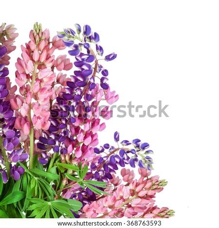 Lupinus flower background. Lupin - stock photo
