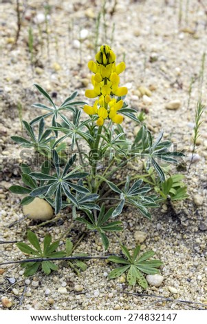 Lupinus luteus, comunly  known as annual yellow-lupin. A native plant to the Mediterranean region of Southern Europe. Occurs on mild sandy and volcanic soils in mining belts. - stock photo
