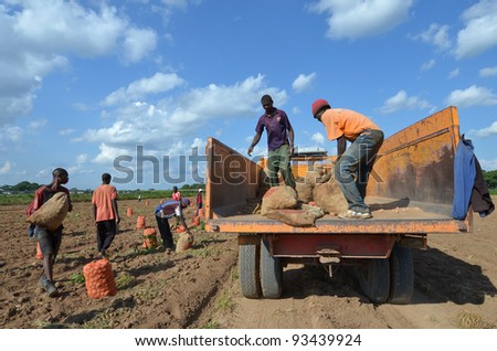 LUSAKA,ZAMBIA – DECEMBER 3:group of farmers gathered potatoes and load the truck for export to Zambia and Malawi, 300 farmers working in this field, on December 3,2011 in Lusaka,Zambia - stock photo