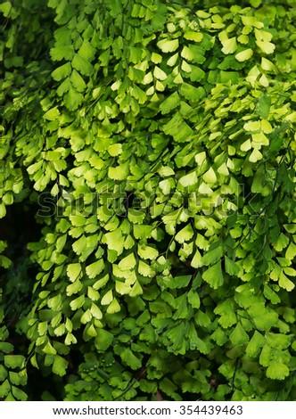 Lush Adiantum capillus-veneris, black maidenhair fern, maidenhair fern,or venus hair fern, shot from above and dark tone - stock photo