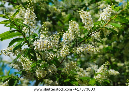 lush bird cherry tree branch with white flowers; Selective focus technique - stock photo