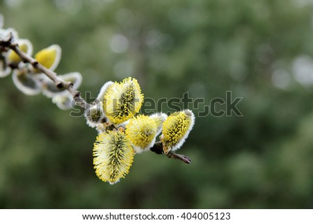 lush blooming delicate flowers branch of a willow in the spring/lush spring flowering willow fur seals - stock photo