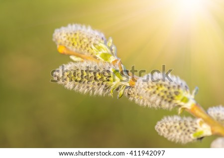 lush blooming delicate flowers branch of a willow in the spring, lush spring flowering willow fur seals - stock photo