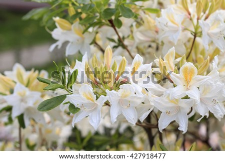 Lush flowering rhododendron. White, delicate flowers. - stock photo