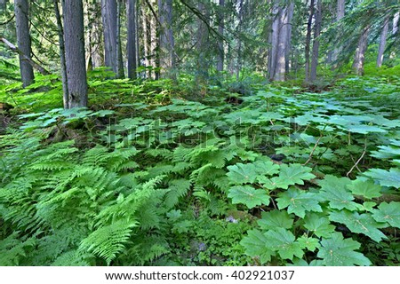 Lush green cold rain forest in Mount Revelstoke National Park, Canada. - stock photo