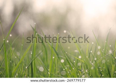 Lush green grass with dew. Shallow depth of field - stock photo