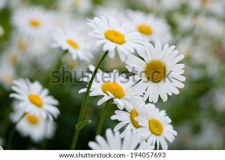 Lush green grasses and crisp white oxeye daisies - stock photo